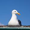 Western Gull - Fisherman's Wharf - Monterey Bay,California