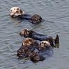 Sea Otters grooming - Moss Landing,California