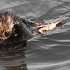 Sea Otter munching on a Moss Landing crab.