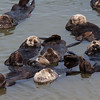 A raft of Sea Otters grooming - Moss Landing,California