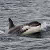 Killer Whale - Monterey Bay,California