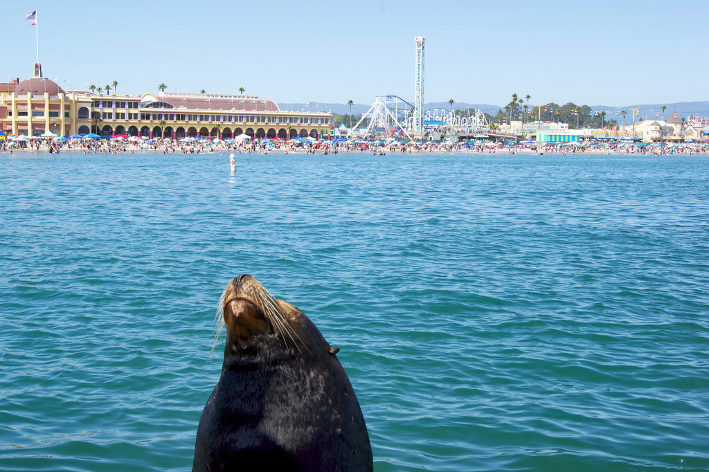 Seal basks in the sun across from the Santa Cruz beach and boardwalk