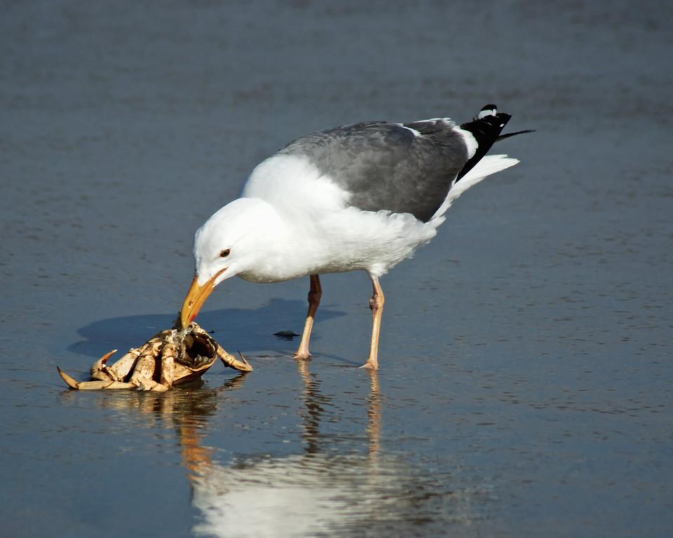 Seagull enjoying fresh crab. Drakes Beach, California Coast. ref: 518bd864-1db1-4b12-8f2b-539fa34d8c98