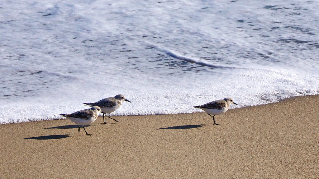 Small birds feeding along the Limantour Beach coast. ref: 38337d23-ab57-4b56-9acd-86cab929149f