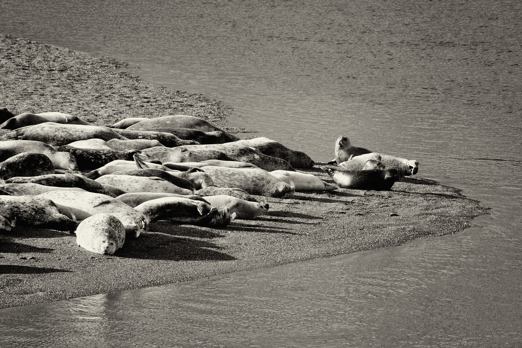 Seals basking in the late afternoon sun on the Sonoma coast. ref: f2c9ccfc-339a-4e69-935f-2e3ad5e2d5aa