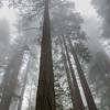 Redwoods in Fog