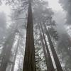 Redwoods in Fog