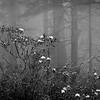 Redwoods In Mist