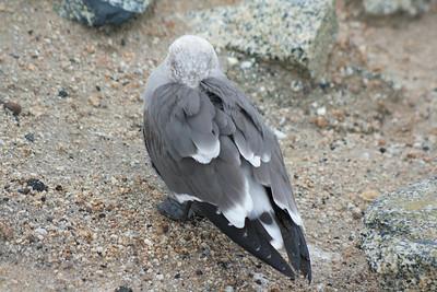 Hiding Pigeon