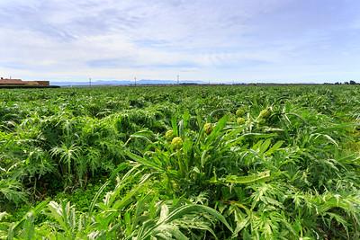 Artichoke Farm, Castroville, California