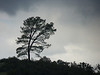 hill_tree1