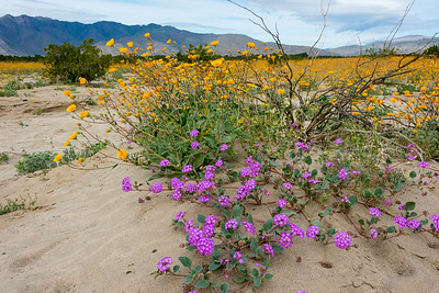 Desert sand verbena in foreground with desert sunflowers in background.  North side of Henderson road, Anza Borrego SP.  Late March 2017.