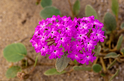 Close-up of Verbena.  Clark lake, Anza-Borrego SP.
