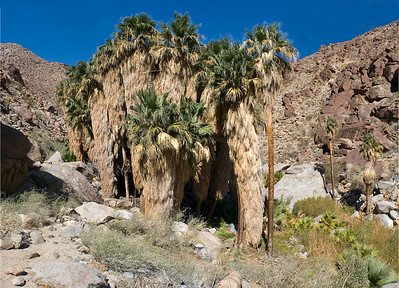 Palm trees.  Borrego Palm canyon, Anza-Borrego SP.