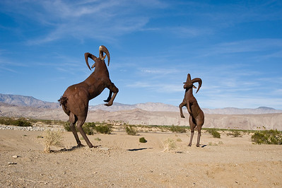 Bighorn sheep ready for combat.  Stagecoach Way  road, Borrego Springs, California.