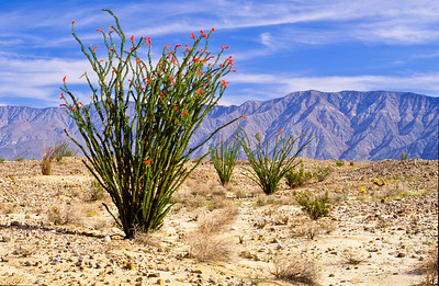 Blooming ocotillo with Santa Rosa mountains in background.  Clark Valley, Anza-Borrego SP, California.