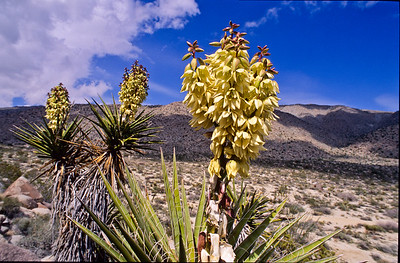 Blooming yucca .  Smuggler canyon with Pinyon mountains in background.   Anza-Borrego SP, California.