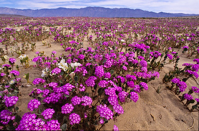 Blooming verbena with Santa Rosa mountains in backgound.  Clark valley, Anza-Borrego SP.