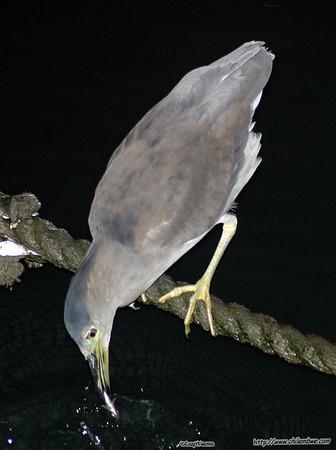 Night Heron, near pier 49, San Francisco