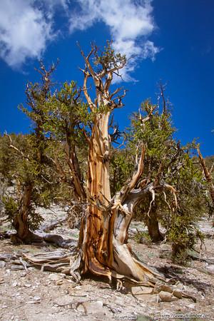 Bristlecone pines 2013