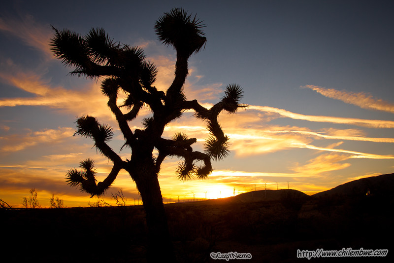 Joshua tree, sunset