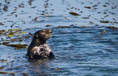 Sea otter near Morro Rock.