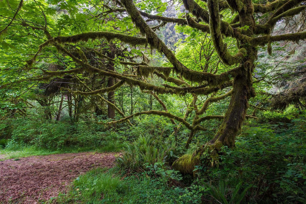 Moss covered tree.  Prairie Creek Redwoods state park, California.