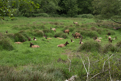 Roosevelt elk in medow. Prairie Creek Redwoods state park, California.