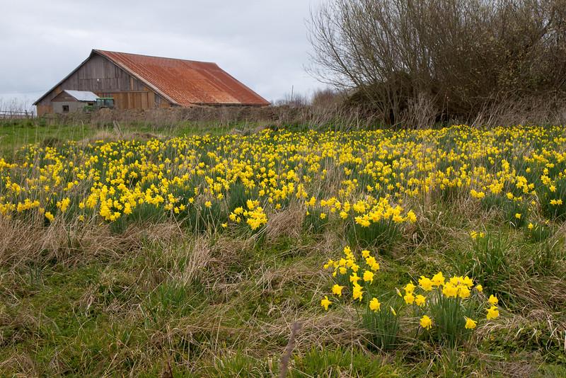 Daffodils Barn