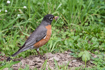 Robin with worms.  Van Damme SP. California.