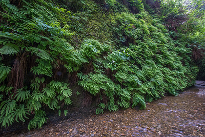 Fern canyon.  Prairie Creek Redwoods state park, California.