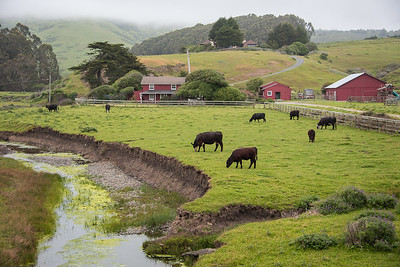 Cattle and ranch along hwy 1, south of Fort Ross.  California.