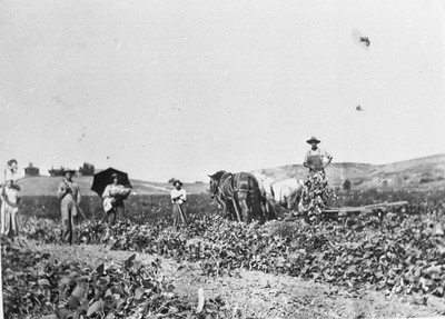 Cutting lima beans in about 1920.  Photographed 100 yards east of Encinitas Blvd. and Rancho Santa Fe road looking north.  Notice Baecht house on hill and house on right belonging to Friedrich Bumann.