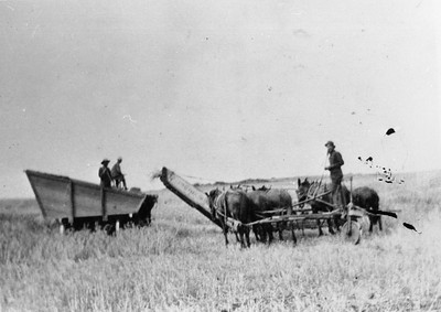 Heading grain on south east corner of Bumann Road and Fortuna ranch road.  Carl Teten and Carl Finch on header wagon.   John Teten on header. Controlling a header was difficult.  Driver held reins for three horses in each hand.  A rudder wheel was turned by a rudder board held between his legs.  Turning the header required considerable skill.