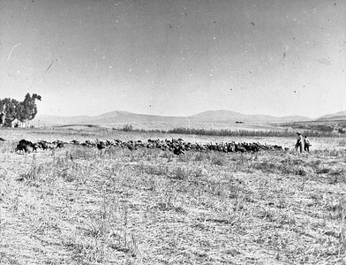 Laura and Roger Teten grazing turkeys  in about 1940.  Photo taken from near 329 Rancho Santa Fe road looking northeast.  Row of bushes in background would be present day Cole Ranch road.  Building in upper left is the Olivenhain School located on SW corner of 7th st.  and Cole Ranch rd.