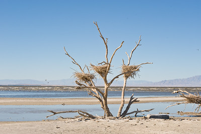 Abandon nest and tree.   By 2014, the tree I had photographed for so many years is exposed by receding water.  Garst road, Salton Sea.