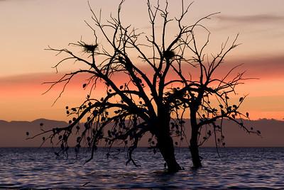 Cattle egret iin tree at sunset.  Garst road, Salton Sea.