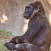 Gorilla.  Wild Animal Park, San Pasqual, California.