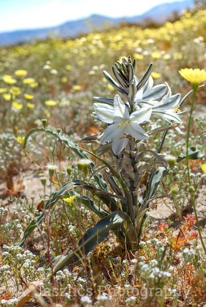 Desert Lily