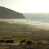 Cows grazing, Point Sur, CA