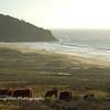 Cows grazing, Point Sur, CA