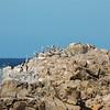 Pelicans & Cormorants, Asilomar State Beach