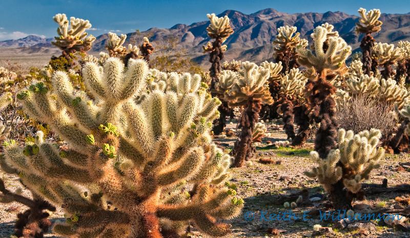 Cholla Cactus and Garden, Joshua Tree NP