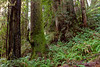 Coast Redwoods