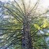 Redwoods 2