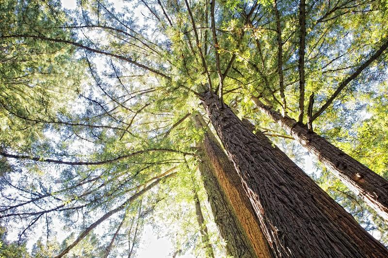 Redwoods 3