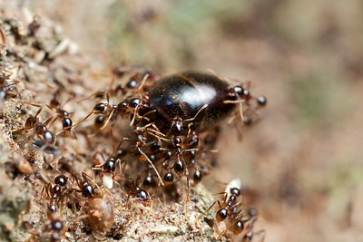 Asian army ants (Carebara sp.) with larger supermajor abdomen