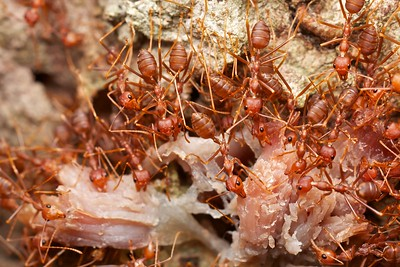 Weaver ants (Oecophylla smaragdina) tearing apart prey