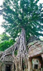 Ta Prohm, the trees temple