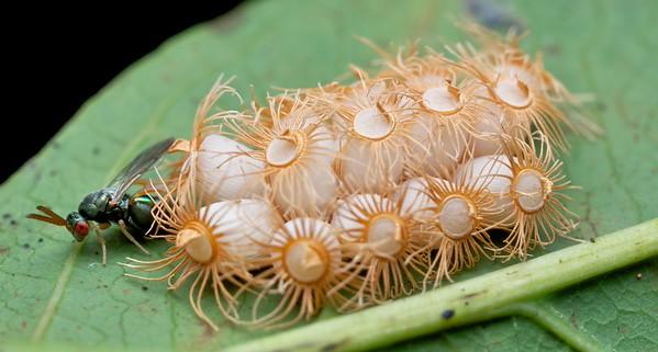 Chalcid wasp (Monodontomerinae) parasitizing phasmid eggs (Trachymonax sp.)